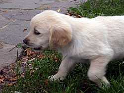 Golden Retriever Forrest
